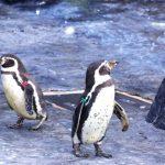 旭山動物園のゴールデンウィークの混雑状況や駐車場事情 服装を紹介