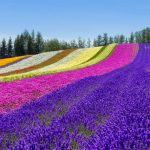 北海道富良野&美瑛観光についての記事一覧